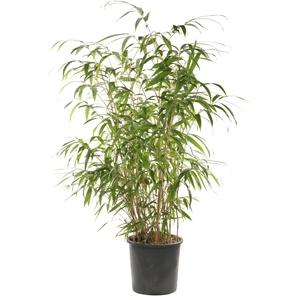 Bambou Fargesia Scabrida Asian Wonder. Le pot de 12 litres 658339
