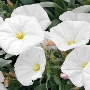Liseron de Turquie blanc. Le pot de 9x9 cm 658481
