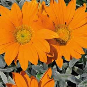 Gazania orange à feuillage gris. Le pot de 9x9 cm 658489