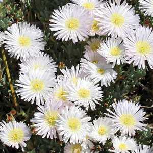 Ficoïde blanc. Le pot de 9x9 cm 658498