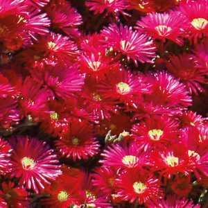 Ficoïde rouge. Le pot de 9x9 cm 658501