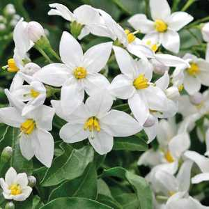 Solanum jasminoides blanc. Le pot de 9x9 cm 658523