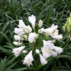 Agapanthus Ever White 'WP001'  en pot de 3 L blanc 663007