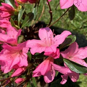 Azalée Japonaise (Azalea Japonica) rose. Le pot de 2 litres 663522