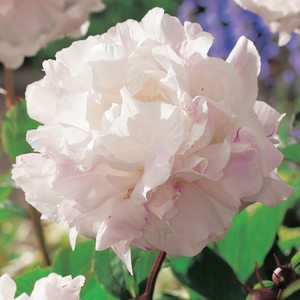 Pivoine Shirley Temple. Le pot de 1 litre 664120