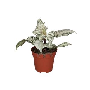 Aphelandra White Wash – Pot de Ø 12 cm 664386