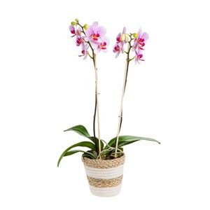 Orchidée phalaenopsis bio avec 2 branches et cache-pot Ø 12 cm 664795