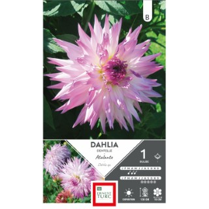 Bulbe de Dahlia Cactus dentelle Atalante blanc et mauve 665435