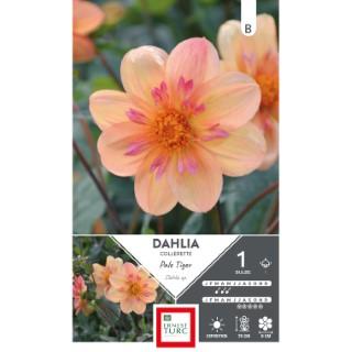 Bulbe de Dahlia collerette haut Pale Tiger orange 665442