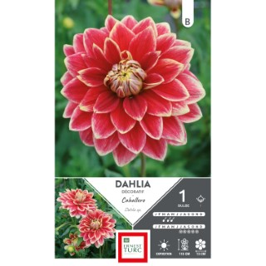 Bulbe de Dahlia décoratif Caballero rouge 665448
