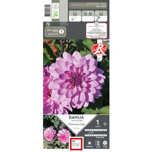 Bulbe de Dahlia décoratif Charming Lady violet 665449