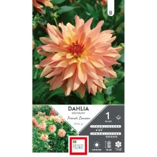 Bulbe de Dahlia décoratif French Cancan orange 665451