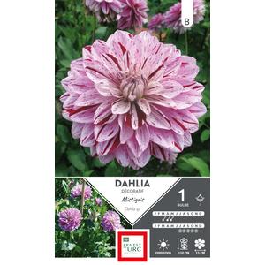 Bulbe de Dahlia décoratif Mistigris blanc et mauve 665452