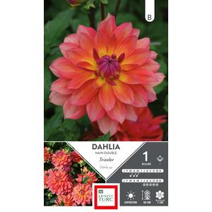 Bulbe de Dahlia décoratif tricolore orange 665456