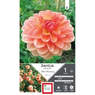 Bulbe de Dahlia décoratif Yelno Harmony orange 665457