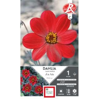 Bulbe de Dahlia nain à fleurs simples A la Folie rouge 665465