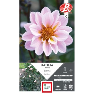 Bulbe de Dahlia nain Topmix Rosetta rose 665466