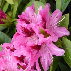 Rhododendron Mix. Le pot de 2 litres 665985