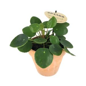 Pilea peperomioides dans un pot en terre cuite Ø 12 cm 668869