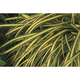 Carex Oshimensis Everglow. Le pot de 2 litres 670458
