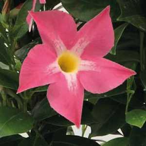 Dipladénia rose Bella Pink Star. Le pot de 9x9 cm 670706