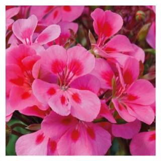 Geranium zonale Americana Mega Splash rose bicolore en pot 12x12 cm 670771