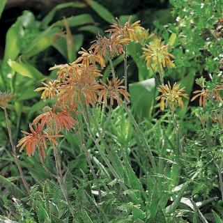 Aloé brevifolia Postgenita. Le pot de 3 litres 672178