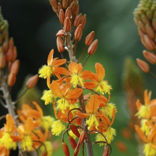 Bulbine orange. Le pot de 3 litres 672182