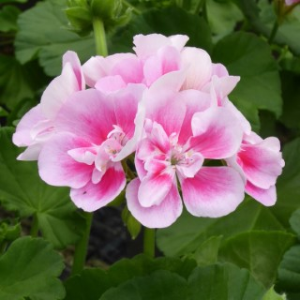 Géranium zonale rose. Le pot de 1 litre 672427
