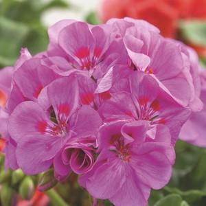 Géranium zonale violet. Le pot de 1 litre 672428