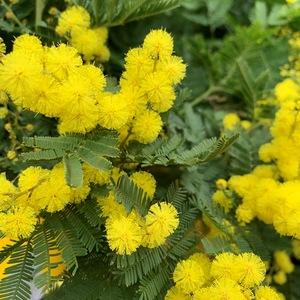 Mimosa greffé – C3 672749