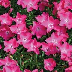 Œillet Dianthus Kahori rose en pot de 9x9 cm 673684