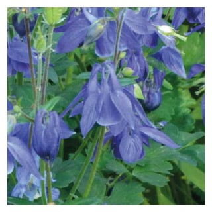 Ancolie naine bleue. Le pot de 9x9 cm 673685