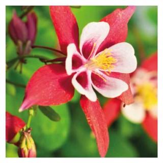 Ancolie naine Flabellata Ministar blanche et rouge en pot de 9x9 cm 673686