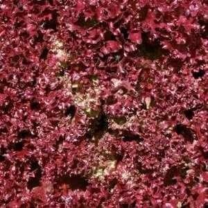 Laitue Lolo Rossa Thea bio rouge en barquette de 12 plants 675066