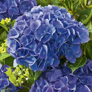 Hortensia à grandes fleurs bleu en pot de 3 litres 675569