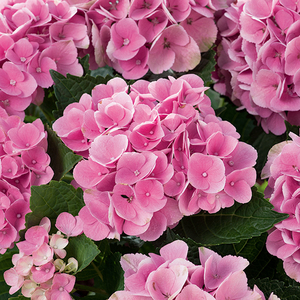 Hortensia à grandes fleurs rose en pot de 3 litres 675570