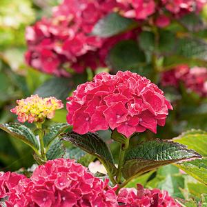 Hortensia à grandes fleurs rouge en pot de 3 litres 675571