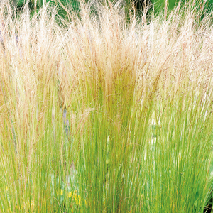Stipa tenuifolia ponytails en pot de 3 litres 675594