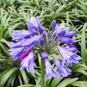 Agapanthe Africanus bleue touffe. Le pot de 3 litres 676346