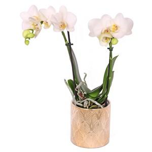 Orchidée Phalaenopsis 2 branches avec cache-pot Ø9cm 681997
