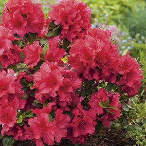 Azalea japonica vuyks scarlet rouge en pot de 5 L 691417