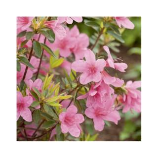 Azalea japonica madame van hecke rose en pot de 5 L 691421