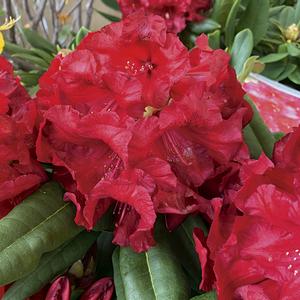 Rhododendron léo rouge en pot de 7,5 L 691427