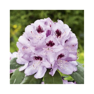 Rhododendron metallica rose en pot de 7,5 L 691429