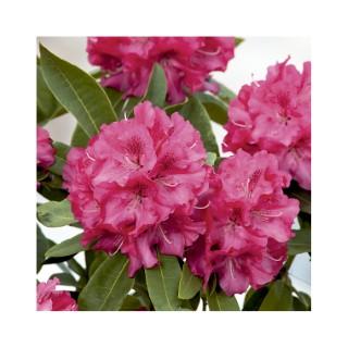 Rhododendron van wilgens rouge en pot de 7,5 L 691430