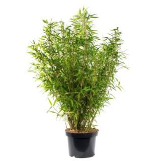 Bambou Fargesia Angustissima. Le pot de 80 litres 691682