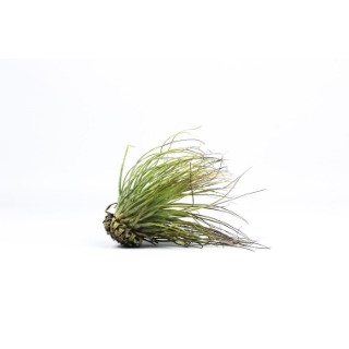 Tillandsia magnusiana vert 10 cm 691844