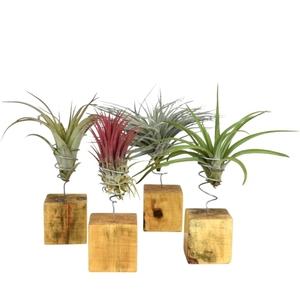 Tillandsia mix vert avec support en bois 25 cm 691848