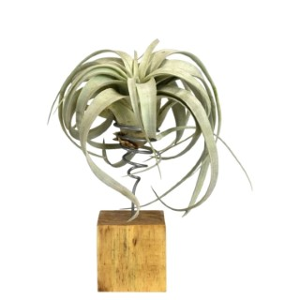 Tillandsia xero vert avec support en bois 35 cm 691850